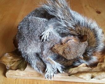 Taxidermy sleeping squirrel