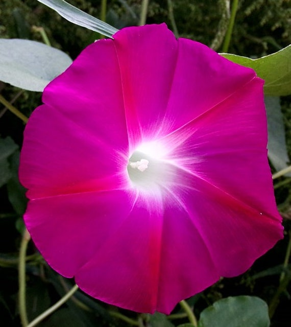 Ipomea purpurea crimson rambler morning glory 50 seeds e9ip for Ipomea purpurea