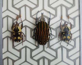 African Flower Beetles over Three Point Geometry. Real insects