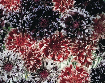 Cornflower 'Frosted Queen' Seeds / Centaurea cyanus  Frilly and Fun Frosted Tips!