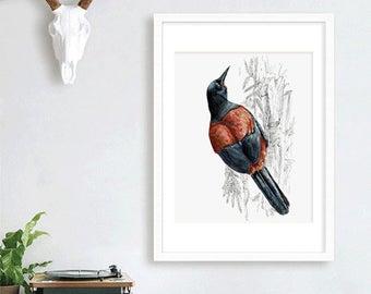 New Zealand native bird Tīeke ( Saddleback ), illustrated Large print, from original watercolor and ink painting artwork, Wild life wall art