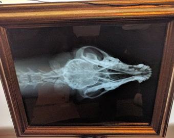 X-ray Dog Head