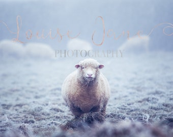 Frosty The Sheep 12x8 Print and Wall Art