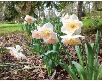 Daffodils, Daffodil, Original Photograph, Flowers, Springtime, Blank Card, Nature,