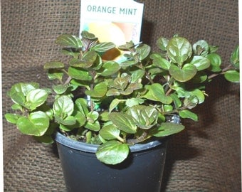 "Live, Organically Grown ORANGE Mint Herb planted in a 3.5"" pot"