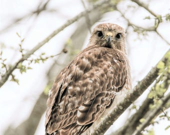 Inquisitive Hawk