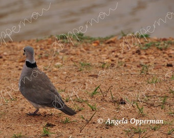 Turtle Dove // Photography // Birds // Instant Download