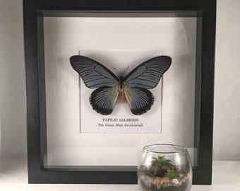 A Giant Blue Swallowtail Butterfly (Papilio Zalmoxis) Framed Specimen
