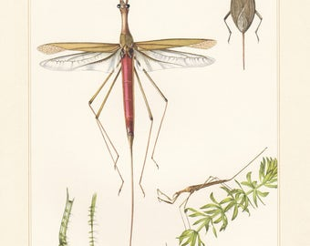 Vintage lithograph of water stick insect and water scorpion from 1955