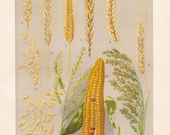 Vintage lithograph of maize, common oat, wheat, spelt, emmer wheat, rye, two-rowed barley, millet from 1911