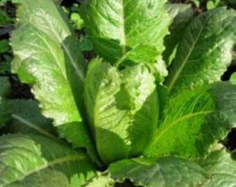 Heirloom Butterhead Lettuce Bibb Lettuce 100 Seeds 2017 harvest