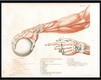 HUMAN ANATOMY PRINT muscles antique anatomy art giclee print vintage anatomy print anatomical print gladiator anatomy etching