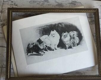 Vintage Pomeranian Print - by R H Moore