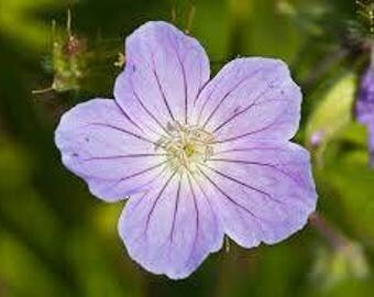 10 Beautiful Wild Geranium bulds! Pretty blooms! Easy to grow!
