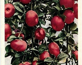 Vintage Virginia Postcard - Virginia Apples (Unused)