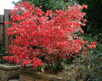 10 BURNING BUSH (Euonymus alatus)12-18""