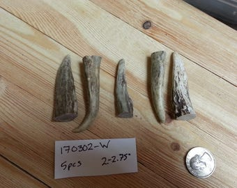 Gnarly Deer Antler Points Tips- 2-2.75 inches- 5 pcs- Lot No. 170302-W