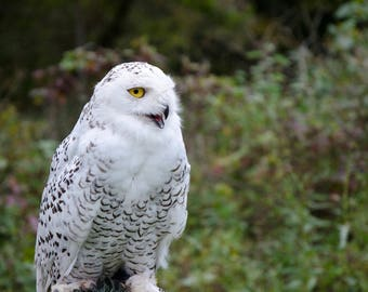 snowy white owl photo, wildlife photography print, animals nature close up, bird of prey, intense yellow eyes, fine art, home decor wall art