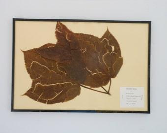 Vintage 1968 botanical specimen by Maine arborist - Striped Maple