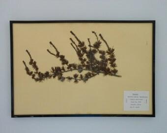 Vintage 1968 botanical specimen by Maine arborist - Tamarac