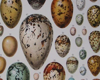 French Antique book illustration of Birds EGGS  'OEUFS'  by Adolphe Millot 1932 Vintage art print