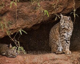 Bobcats, desert wildlife, bobcat photograph, Arizona Desert Museum, two bobcats, Tucson AZ, 16 x 20, southwestern, FastWinn Photography