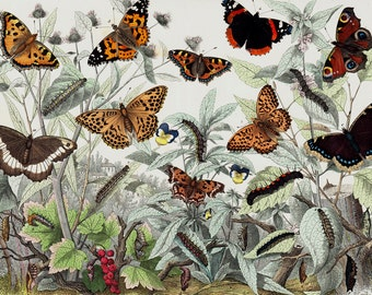 1860 Rare Amazing Large Antique BUTTERFLY Print, Butterflies Species, Hand Colored Lithograph, Insect Scientific illustration, 156 Years Old