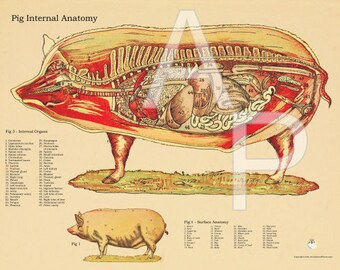 "Pig Internal Anatomy Poster - 18"" X 24"""