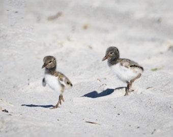 Baby Bird Photo, Twins, Nesting Birds, Oystercatcher Chick, Wildlife Photo, nature photography, nursery decor - fine art photograph