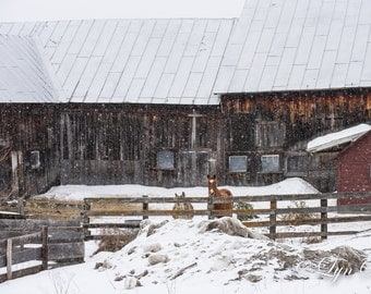 A Vermont Barn -  Nature photography, landscape photography, winter, snow, horses, fine art print, wall art, farm, new england