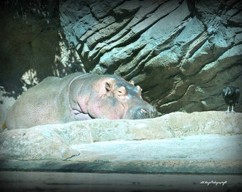 Hippo and Vulture / Hippo Photograph / Vulture Photograph / Buzzard / 8x10 / Free US Shipping / MVMayoPhotography