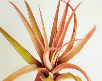 Air Plant 'Capitata Peach' / Giant Tillandsia Air Plant / Wholesale Air Plants