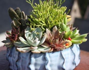 Umbra - Beguiling Succulent Garden with Echeveria, Hatiora, Gasteria, Sedum  & Sempervivum Plants in Wavy Blue Dish Bowl
