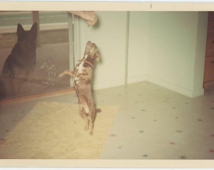 Vintage Snapshot Photo: Pet Trick, 1969 (611515)