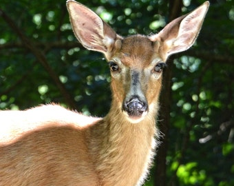 Deer, Deer Photography, Nature Photography, Wildlife Photography, North Carolina wildlife, Wall Art,Home Decor,Buck
