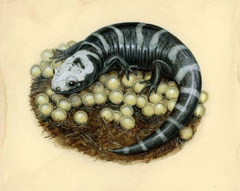 Marbled Salamander - 8x10 inch print by Matt Patterson, natural history art