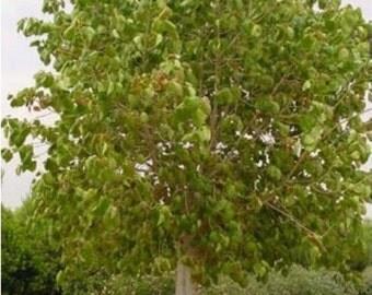 Sacred Fig Tree, Ficus religiosa - 25 Seeds