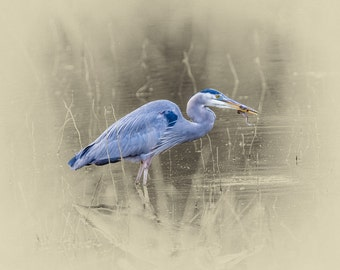 Great Blue Heron with Frog - Limited Edition