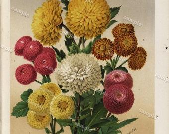 Journal Des Rose original color lithograph Chrysanthemes D' Automne decorative art wall art  home decor Rose flower