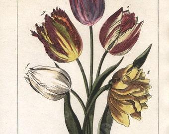 Original Antique  Hand Colored Natural History Botanical Flower Print