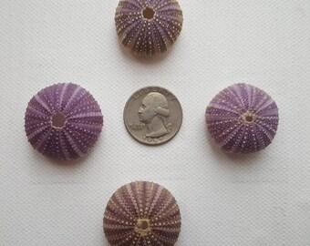 Rare colors ,small size sea urchins, Summer collection, a real sea treasure.