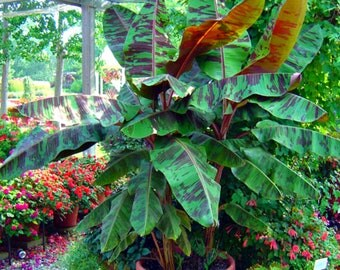 Dwarf Musa Banana Seedling, Tropical Tree Plant Edible Fruits, A Perfect Indoor House Plant. A Perfect Housewarming Gift