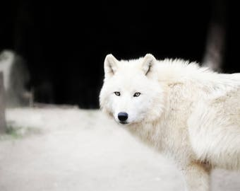 Wolf, Fine art photography