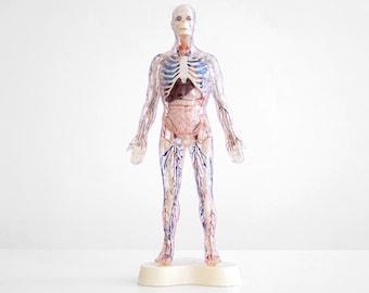 visible man model , the visible man model, 1959 visible man model, anatomy model, vintage anatomy model, science model, skeleton model,