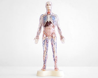 Visible man anatomy model 2674670 - togelmaya.info