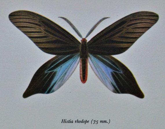 Vintage color  book plate. Old print.  Butterflies Histia rhodope and Hypocrita excellens. 1966. 8 x 10'1 inches.