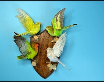 Taxidermy birds parrot Budgie  mounted on wooden base .4 birds /sets.hanging wall,cool gift E#