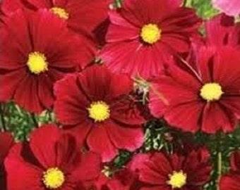 Scarlet Red Sensation Dazzler Cosmos Flower Seeds / Annual / 35+