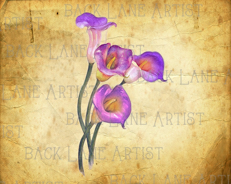 purple calla lily flower watercolor drawing clipart lineart