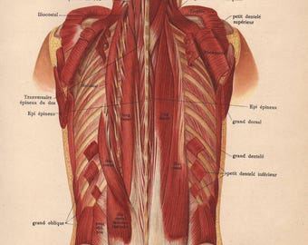 1905 back muscles, tendons & ligaments print - Human anatomy, physiology, medical wall decor - 112 yr old victorian illustration (C612)